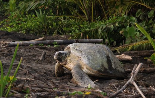Le parc national Tortuguero